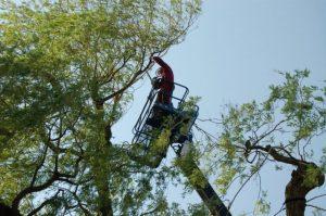 Bomen snoeien Den Haag